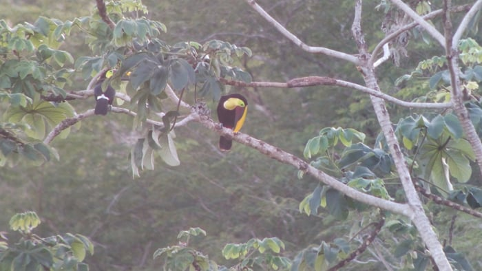 Yellow-throated toucans.