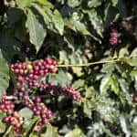 Morning caffeine fix gets cheaper as rains boost Brazil supplies