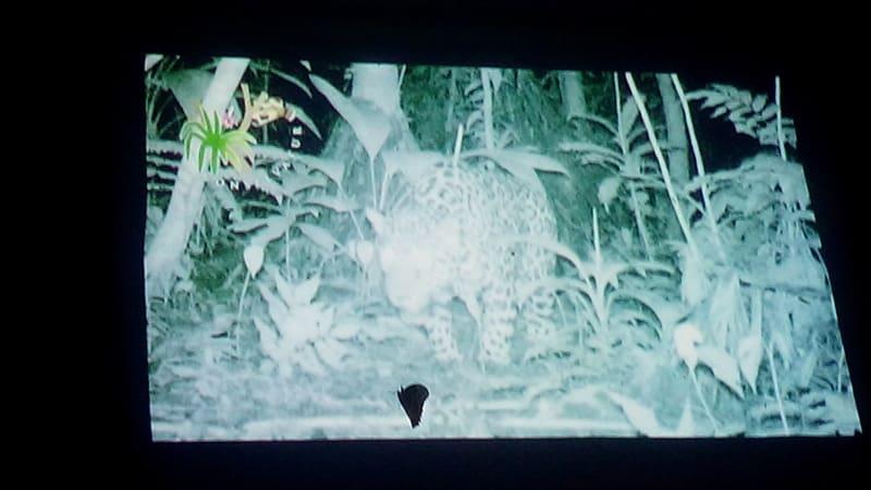 A jaguar filmed by one of Selva Bananito's video cameras.