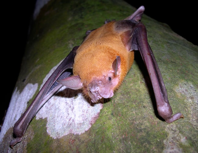 Bulldog fishing bat (Noctilio leporinus).