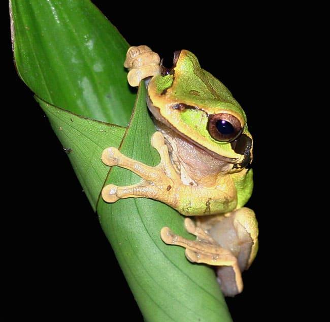 Masked tree frog (Smilisca phaeota).