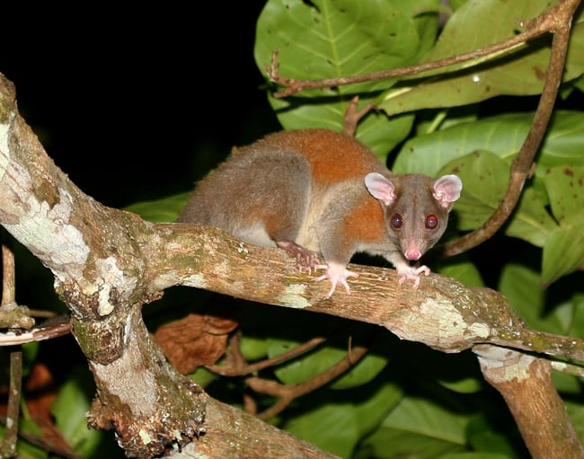 Central American woolly opossum (Caluromys derbianus).
