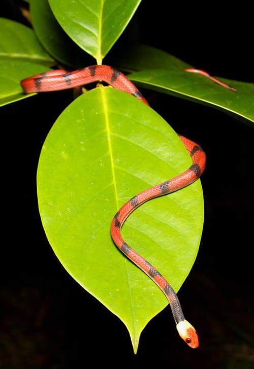 Red-eyed tree snake (Siphlophis compressus).