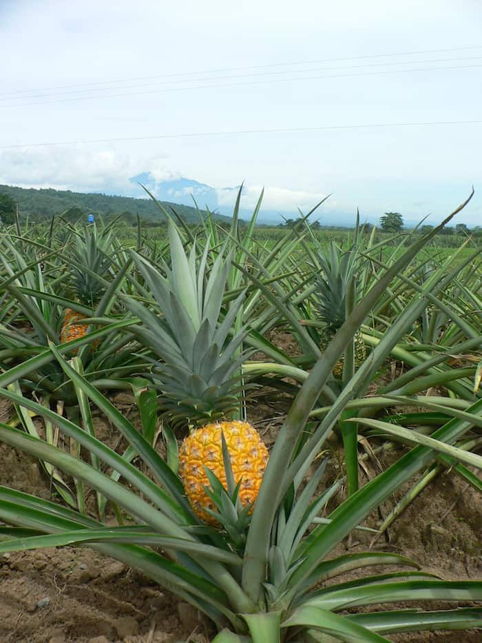 Pineapple in field