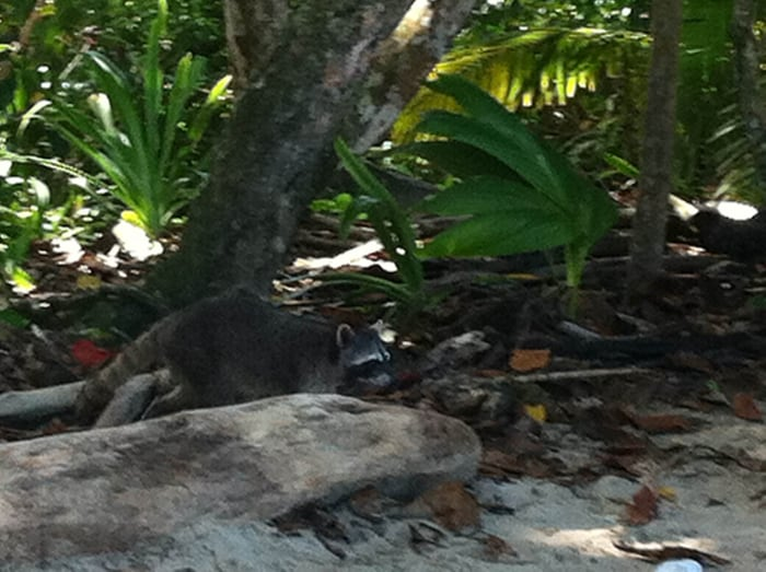 Raccoon on the prowl!