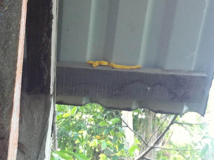 Yellow eyelash viper.