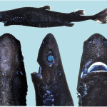 Mysterious shark discovered off Costa Rican coast dubbed the 'Ninja Lanternshark'