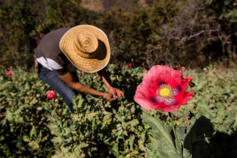 Mexican opium production | poppy field