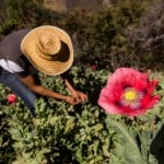 In Mexico's mountains, villagers sow the opium poppies that feed the US heroin boom