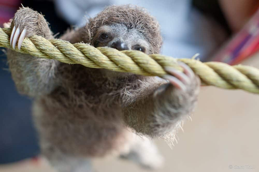 paralyzed baby sloth