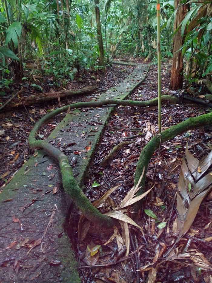 A vine on a trail at La Selva.