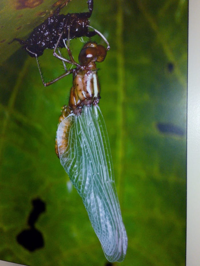 Photo of a photo of a dragonfly discovered at La Selva that lives on bromeliads.