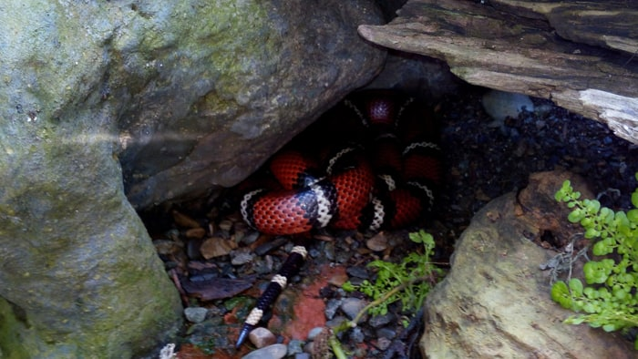 Tropical milk snake.