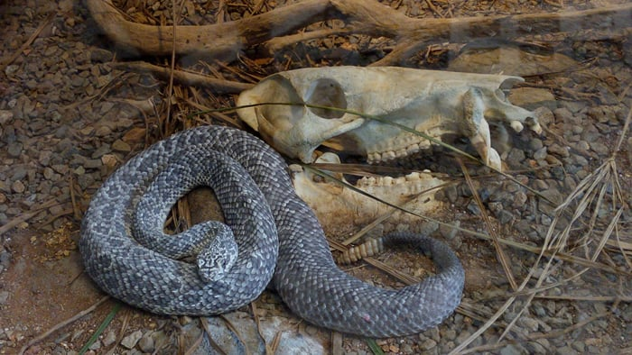 A chameleon rattlesnake with a peccary skull at Parque Reptilandia near Dominical.
