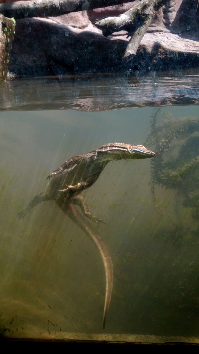 Mertens' water monitor.