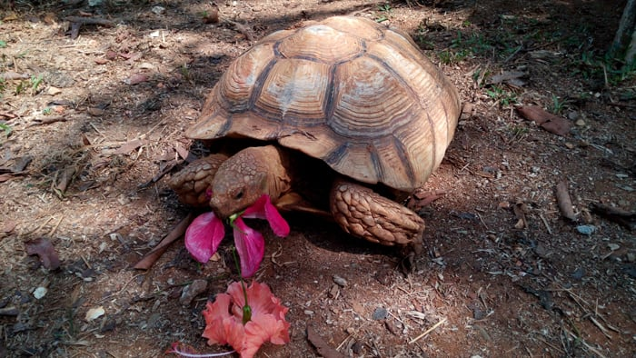 A giant African spur-thighed tortoise eats hibiscus leaves.