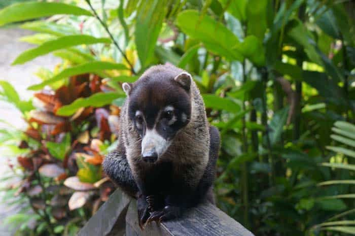 A coati drops in for a visit at Río Celeste Hideaway Hotel.