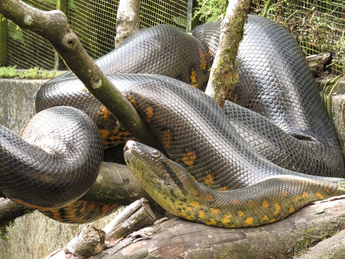 Green anaconda.