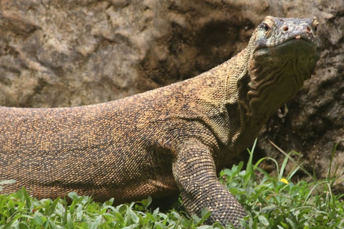 Langka, Central America's first Komodo dragon, was born in 2004 in Spain's Canary Islands as part of a international breeding program. The species is endemic to five islands in southeast Indonesia.