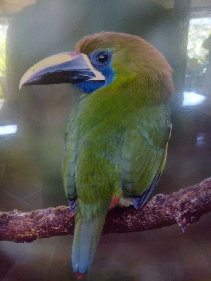 Photo of a photo of an emerald toucanet.