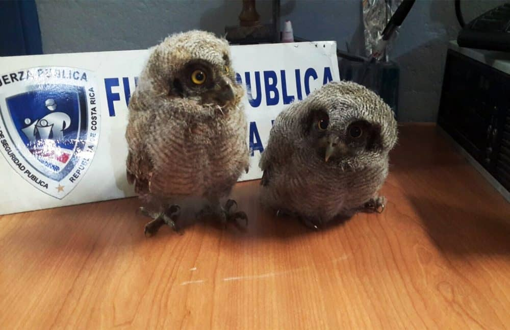 owls; Costa Rica wildlife trafficking