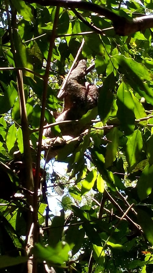 Three-toed sloth.