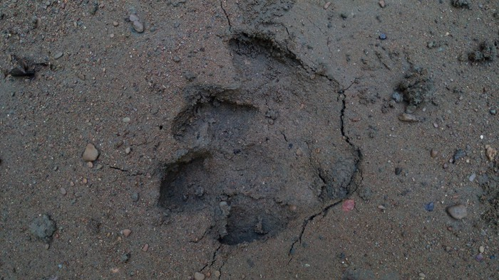 Tapir track.