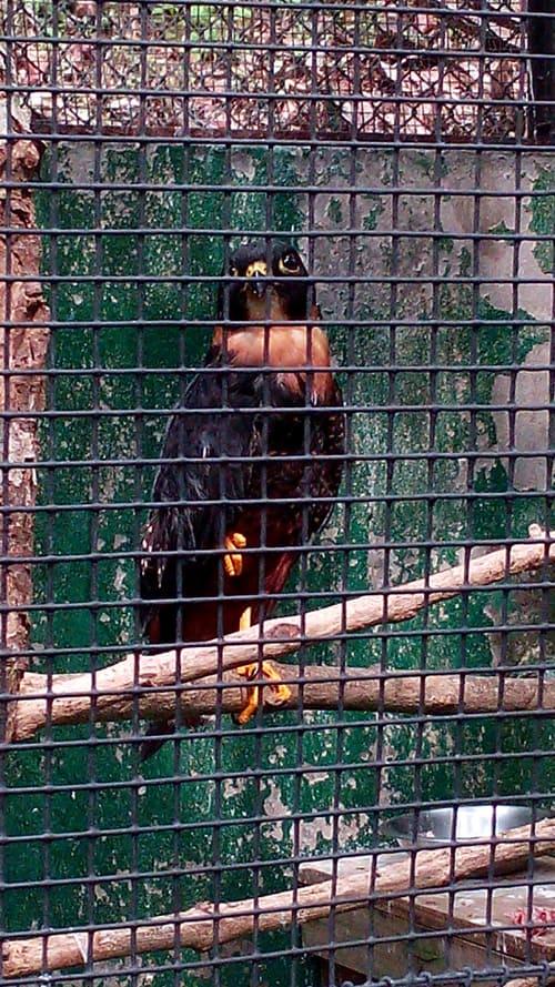 Bat falcon (Falco rufigularis).