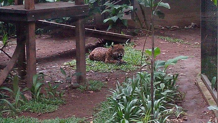 Brutus the jaguar in his new habitat.