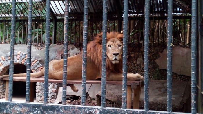 Kivu the lion stares down a visitor at San José's Simon Bolivar Zoo.