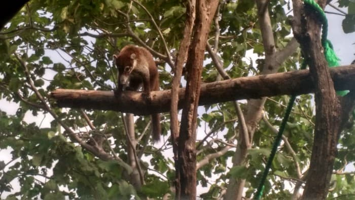 A coati at the Sibu Wildlife Sanctuary.