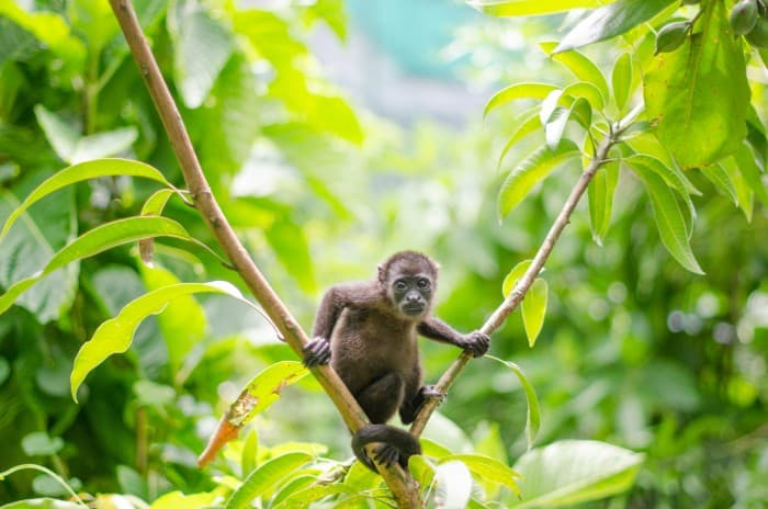 SIBU Costa Rica monkey