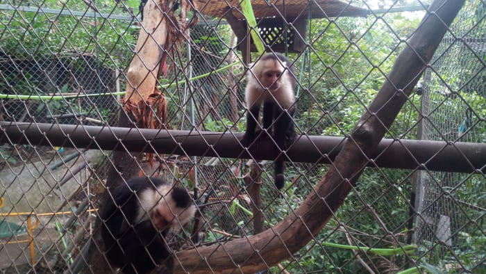 White-faced monkeys.
