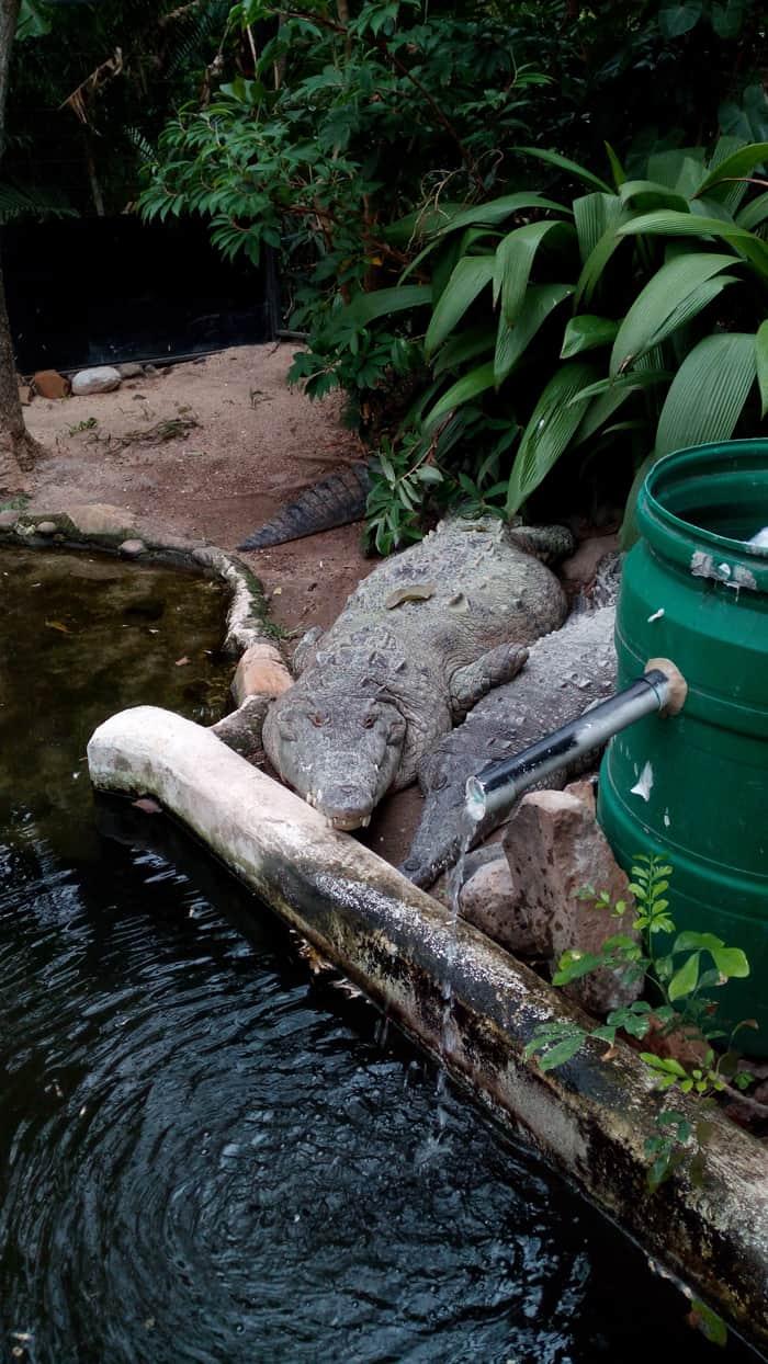 The crocodiles Sobek and Nefertiti.