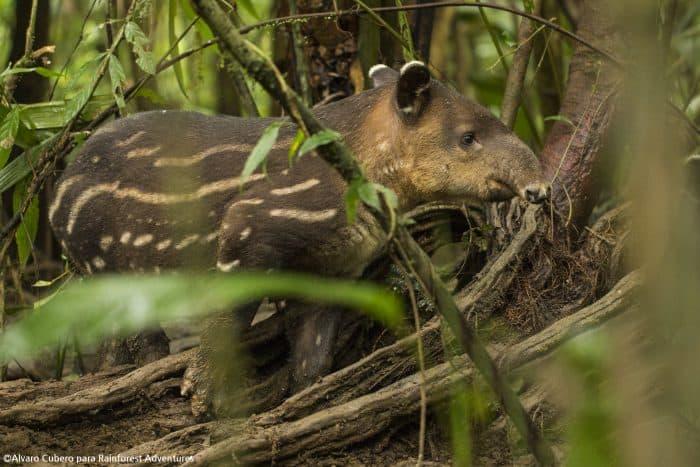 (Courtesy of Alvaro Cubero/Rainforest Adventures)