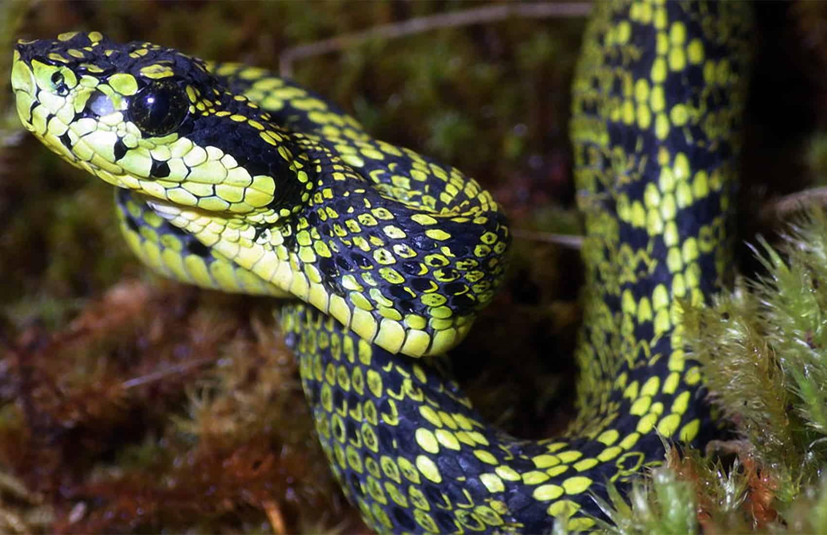 Talamancan Palm-Pitviper - New Costa Rican snake