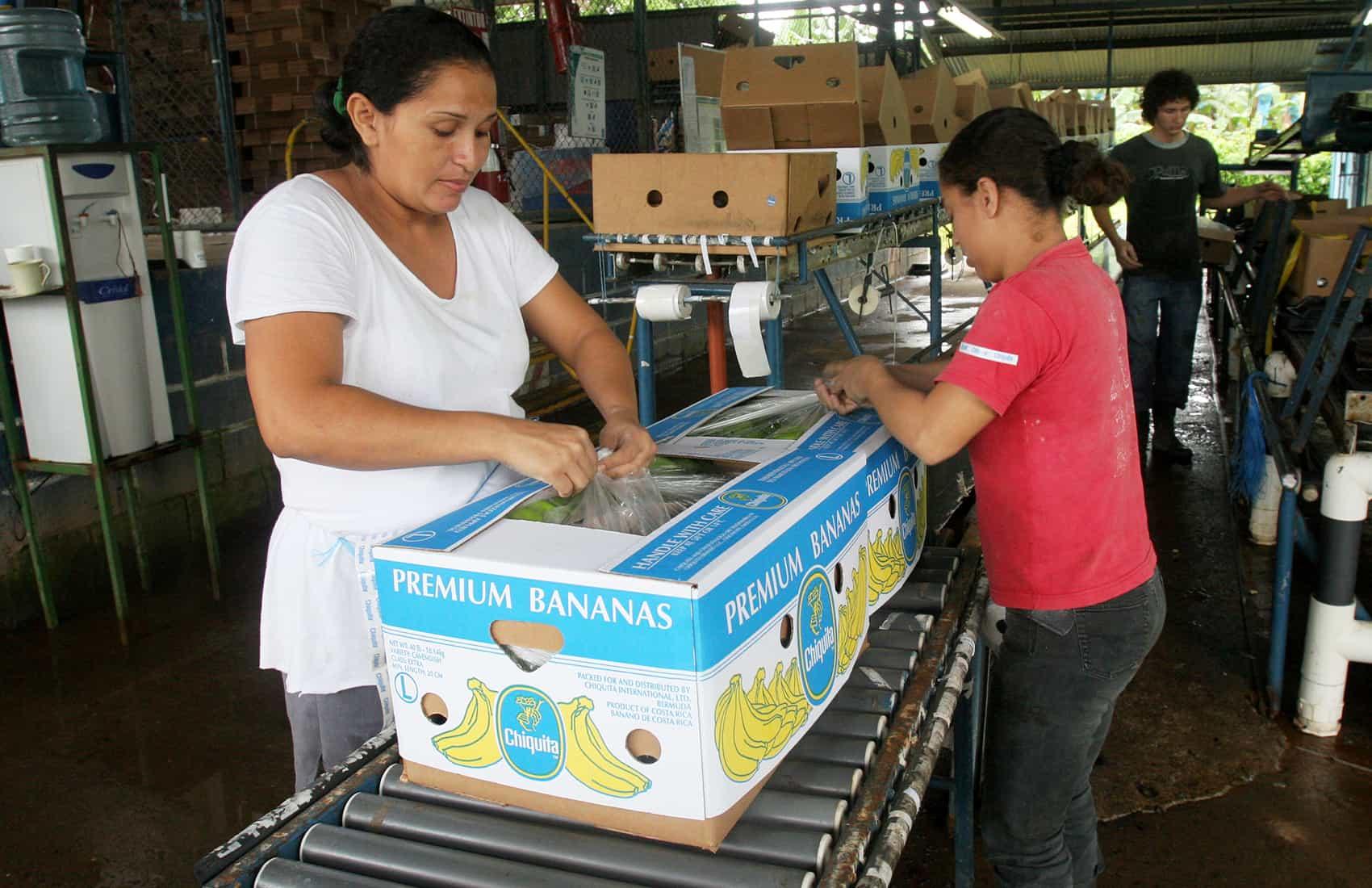 Costa Rican bananas for export
