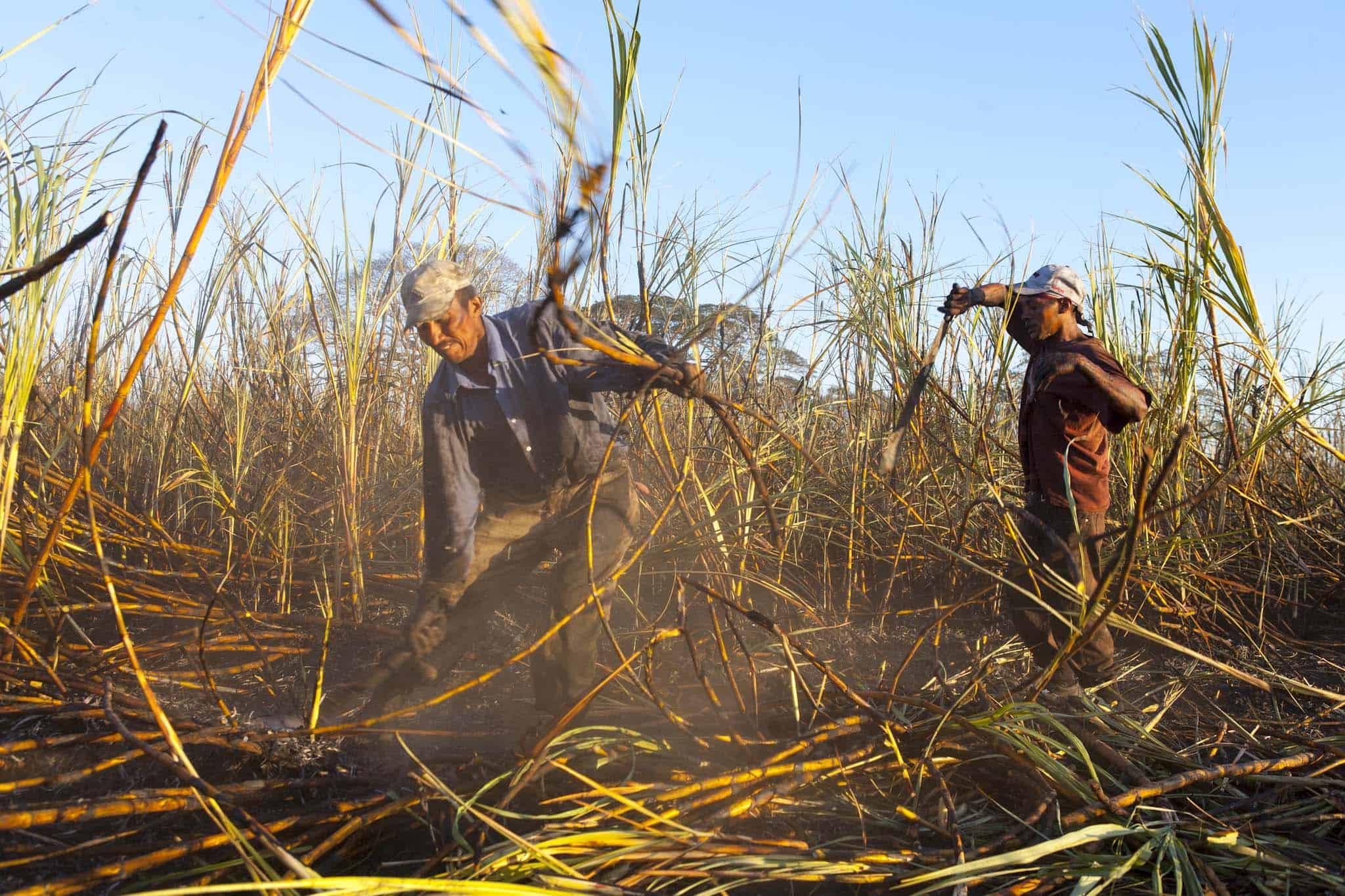 harvesting sugarcane