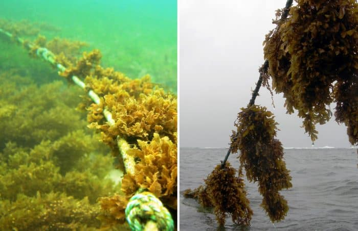 Edible seaweed farming in Costa Rica