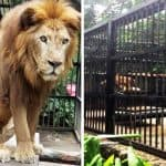 Lion at San José zoo needs a better home, agencies order
