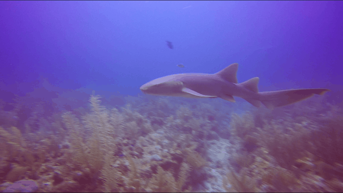 A nurse shark at a dive site called the Tackle Box in Belize.