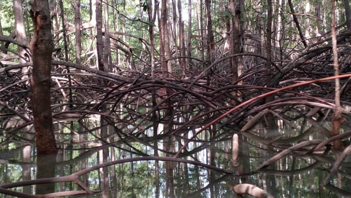 Welcome to the mangroves.