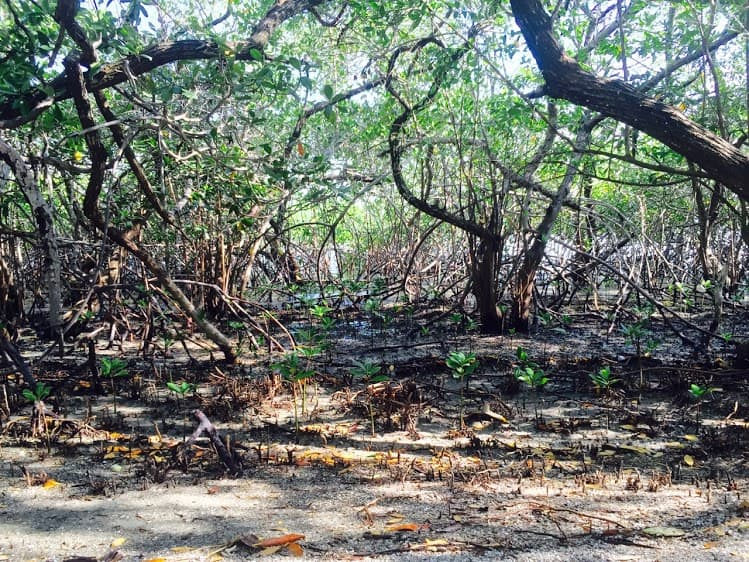 The mangroves of Isla Chira.