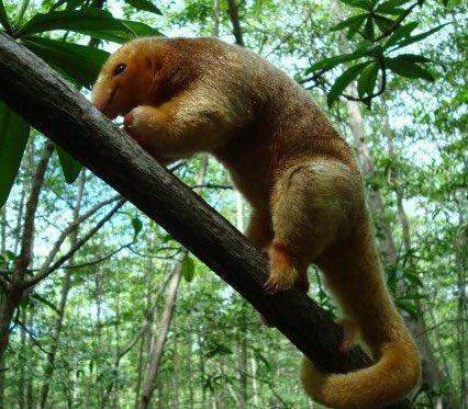 An extraordinary photograph of a rare silky anteater.