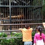 Ministries confirm relocation orders for Kivú the lion