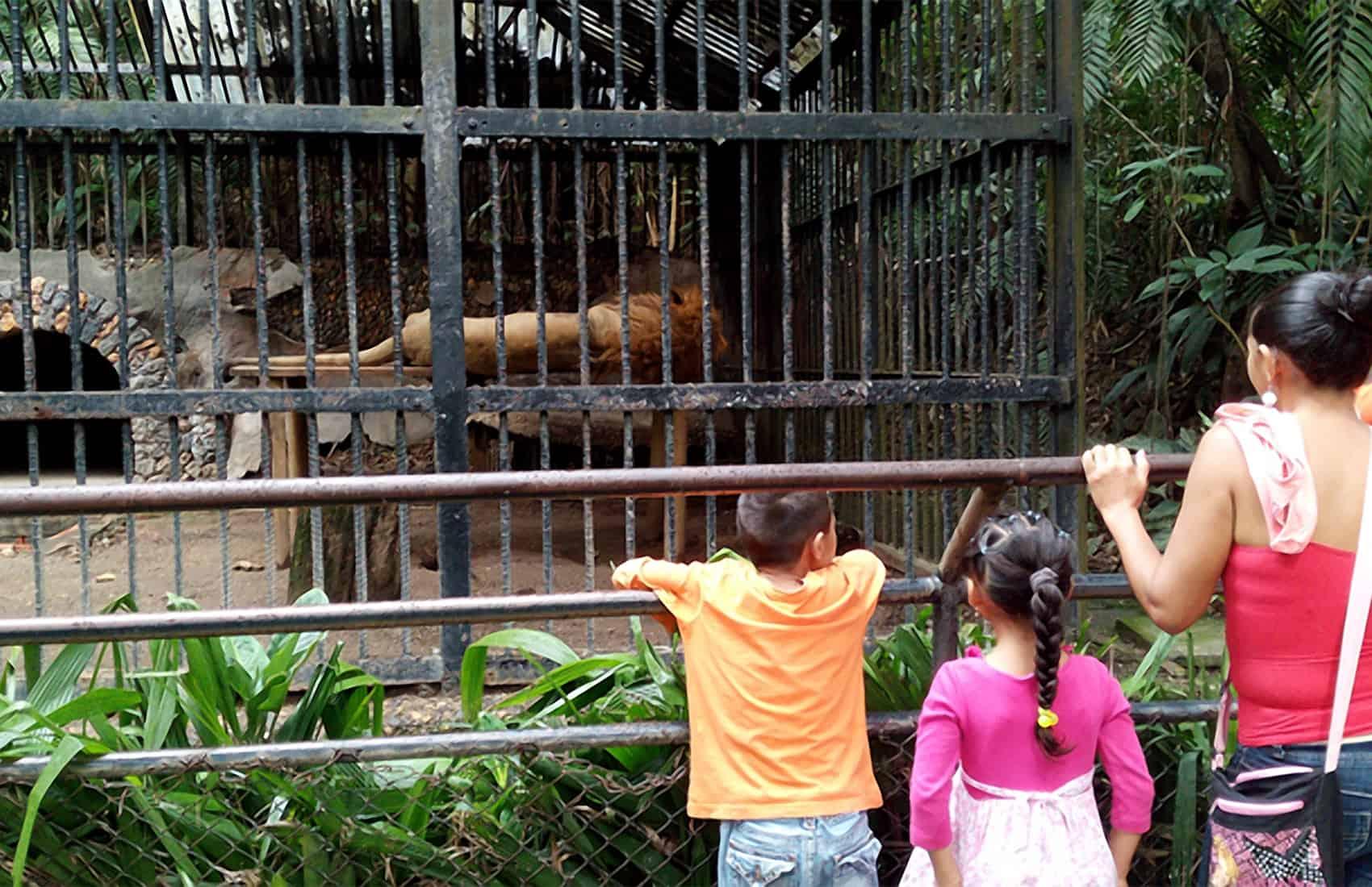 Kivú the lion. Simón Bolívar zoo in downtown San José