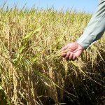 Costa Rica promotes pesticide-free rice farming