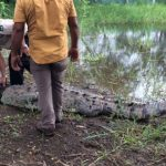 Crocodile that attacked U.S. surfer captured in Tamarindo