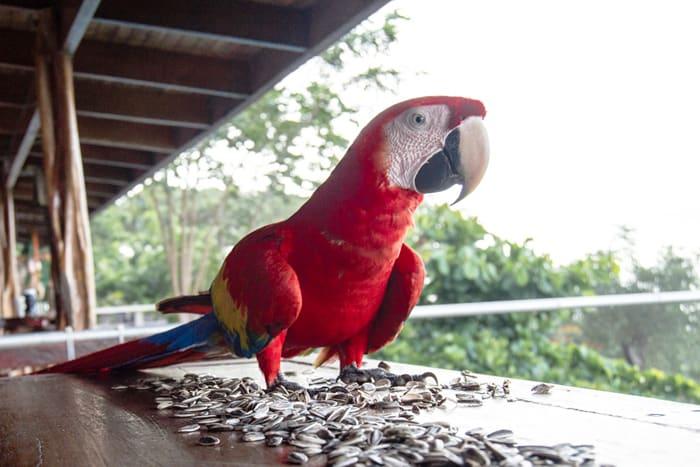 Scarlet macaw macking on sesame seeds.