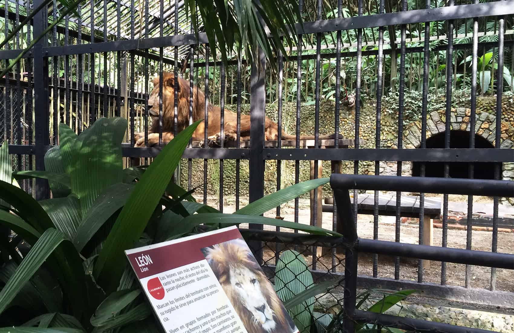 Kivú the lion at Simón Bolívar Zoo in San José, Costa Rica.